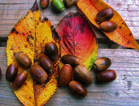 Autumn, Image, Leaf Of Cherry Tree, Red, Huang, Acorn