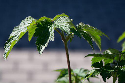 Leaves, Green, Green Leaves, Plant, Anemone