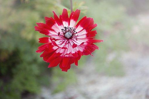Anemone, Flower, Red, Red Flower, Red Anemone