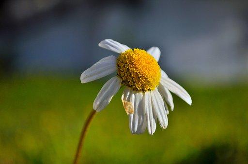 Daisy, Flower, Nature, Artifact, Green, Yellow, Meadow