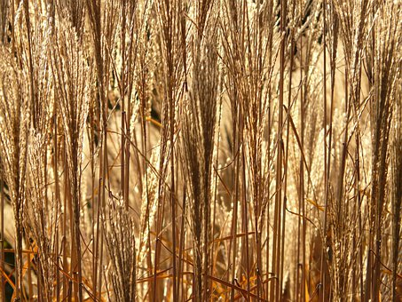 Miscanthus, Miscanthus Sinensis, Backlighting, Licorice