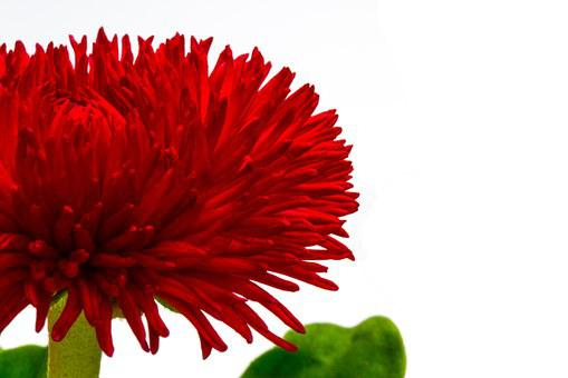 Bellis, Red, Bellis Philosophy, Wild Daisy, Daisy