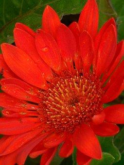 Gerber, Daisy, Flower, Nature, Floral, Bloom, Plant
