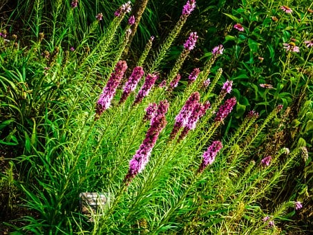Liatris, North American Flower, Bloom From Top Down