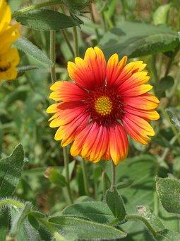Gerber, Daisy, Flower, Blossom, Floral, Bloom, Nature