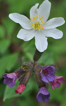 Spring, Wood Anemone, Lungwort, Blossom, Bloom, Flower