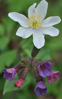 Spring, Wood Anemone, Lungwort, Blossom, Bloom, Flower