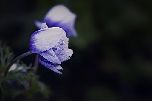 Anemone, Blue White, Blossom, Bloom, Closed Flower