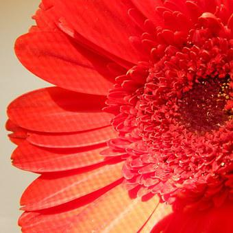 Red, Daisy, Flower, Nature, Floral, Blossom, Bloom