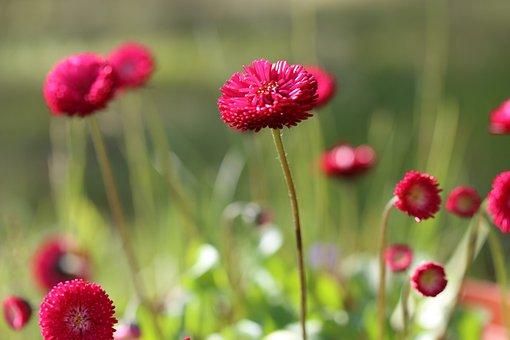 Daisy, Bellis, Red, Flowers, Summer, Garden, Pink