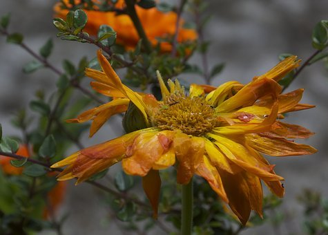 Decay, Marigold, Flower, Green, Decompose, Ecological