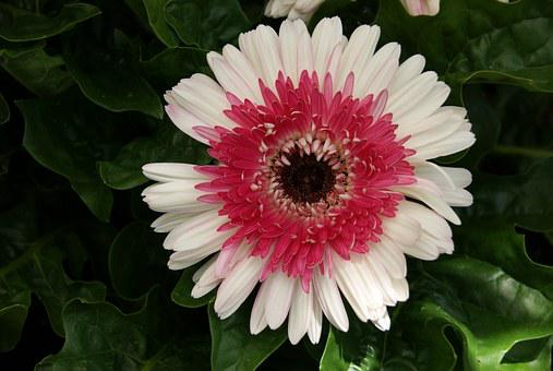 Gerbera Daisy, Flower, Floral, Nature, White, Red, Pink