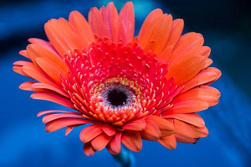 Gerbera Daisy, Flower, Color, Red, Flower Garden, Plant