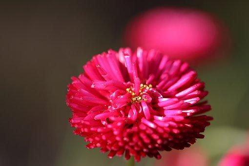 Daisy, Bellis Annua, Red, Flowers, Summer, Garden, Pink
