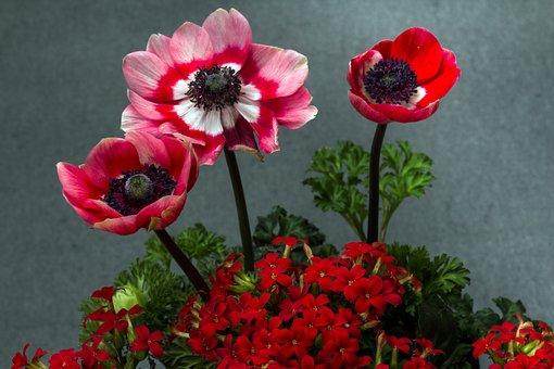 Flowers, Kalanchoe, Thick Sheet Greenhouse