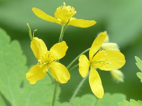 Greater Celandine, Flowers, Yellow, Plant, Flower