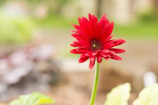 Gerber, Daisy, Green, Bug, Shelter, Rain, Blossom