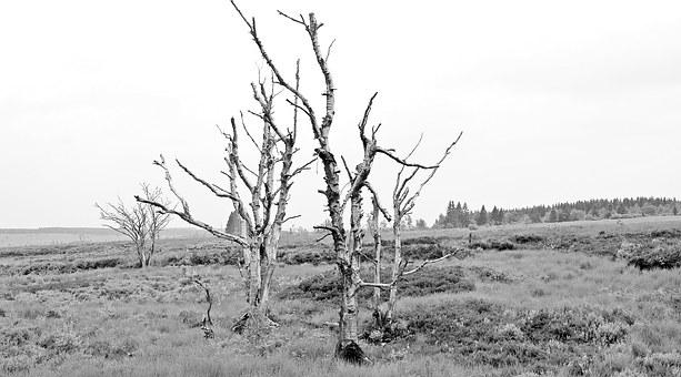 Trees, High Venn, Belgium, Germany, Moor