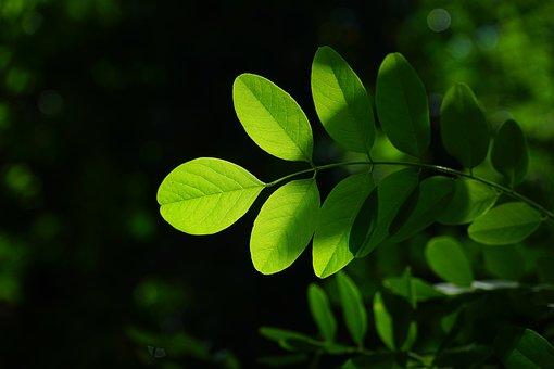 Common Maple, Leaf, Green, Robinia, Leaf Veins