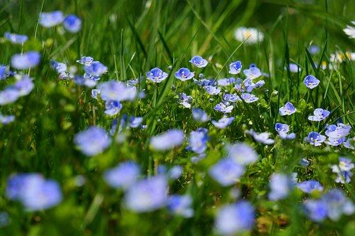 Chamaedrys, Honorary Award, Flowers, Plant, Meadow