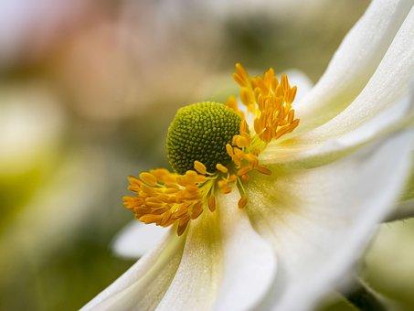 Anemone, Hupenhensis, Japonica, Flowers, Gardens
