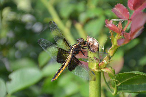 Dragonfly, Flower, Nature, Insect, Summer, Macro, Petal