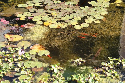 Pond, Water, Nature, Reflection, Green, Lily, Plant