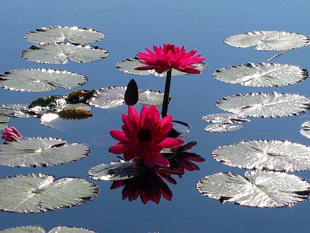 Lilly Pad, Water Garden, Garden, Lily, Waterlily