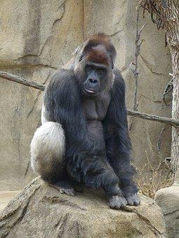 Silver Back, Gorilla, Zoo, Animal, Mammal, Strong