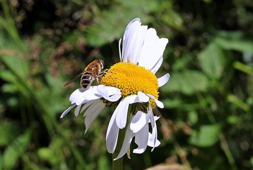 Meadows Margerite, Leucanthemum Vulgare, Daisy Family