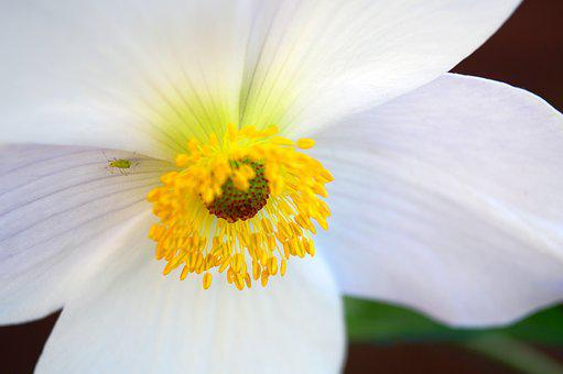 Anemone, White, Flower, Bloom, Petals, Anthers, Stigma
