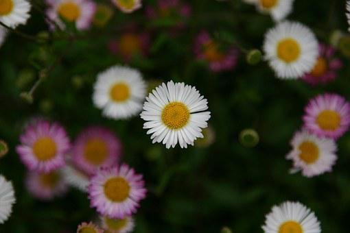 Daisy, Many, Pink, Nature, Summer, Floral, Plant, White