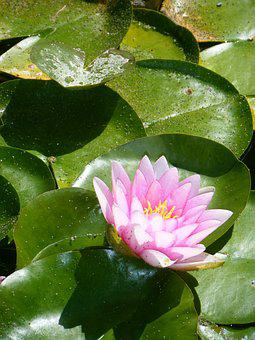Waterlily, Lily, Lily Pad, Green, Pink, Flower, Shadow