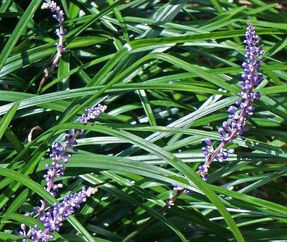 Liriope, Lilyturf, Garden, Plant, Border, Flower