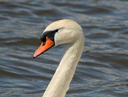 Swan, Swans, Bird, Elegant, Beautiful, Pride