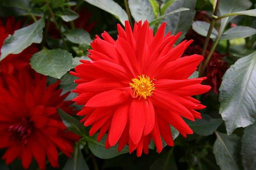 Red Daisy, Red Flower, Flower Of The Field