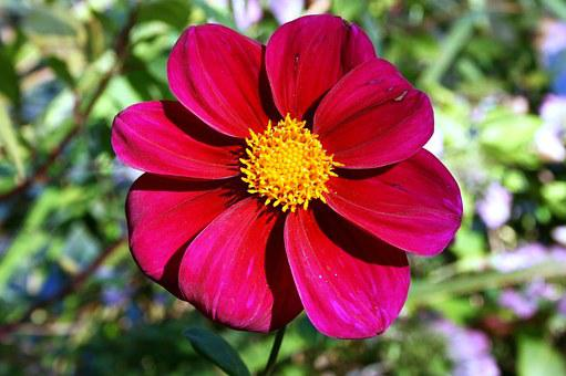 Red Daisy, Red Flower, Red Petals