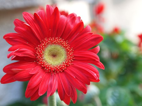Gerber Daisy, Flower, Red, Gerber, Daisy, Nature