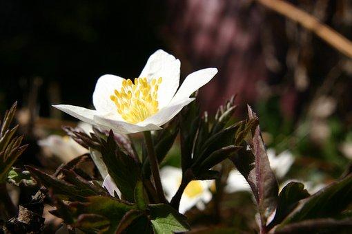 Wood Anemone, Spring, Flower, Spring Flower, Winter