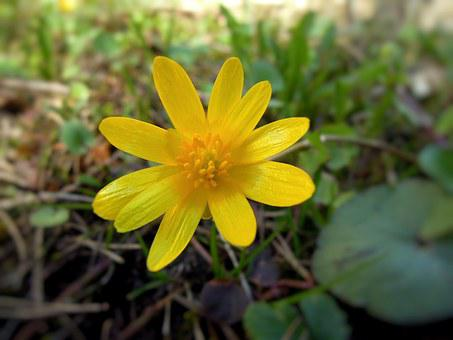 Flower, Spring, Spring Plant, Yellow, Plant