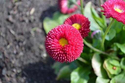 Daisy, Bellis Perennis, Flower, Summer, Spring