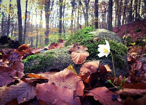 Wood Anemone, Spring, Leaf, Autumn