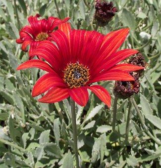 Arctotis, Asteraceae, Sunspot, Orange, African, Daisy