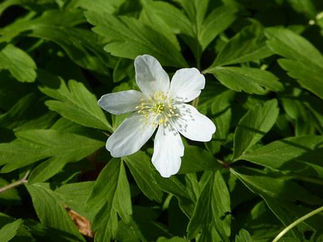 Wood Anemone, White, Spring, Nature, Blossom, Bloom
