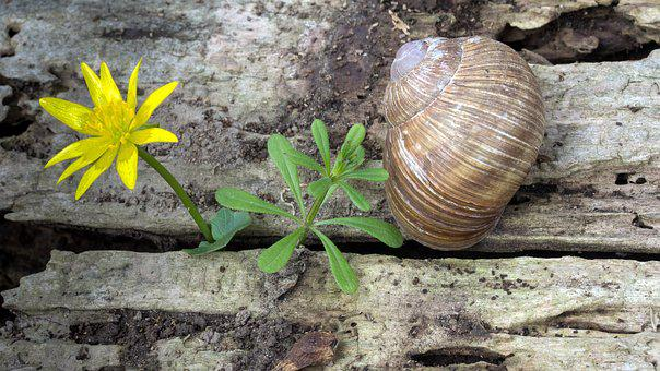 Snail, Wood, Weathered, Brown Snail, Celandine, Nature