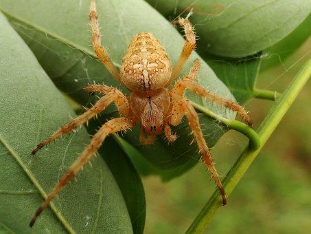 Spider, Arachnid, Insect, Nature, Invertebrates