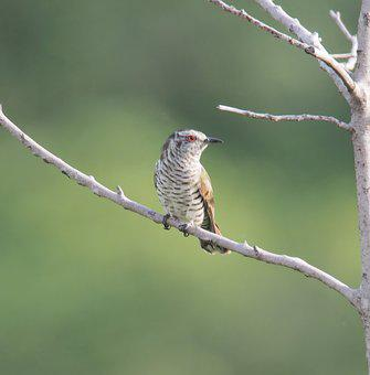 Little Bronze Cuckoo, Bird, Wildlife, Tree, Avian