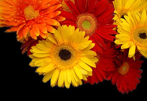 Chrysanthemum, Cuc Coins, Yellow, Orange, Red