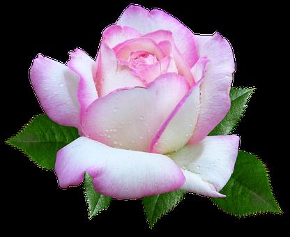 Rose, Flower, Garden, Cut Out