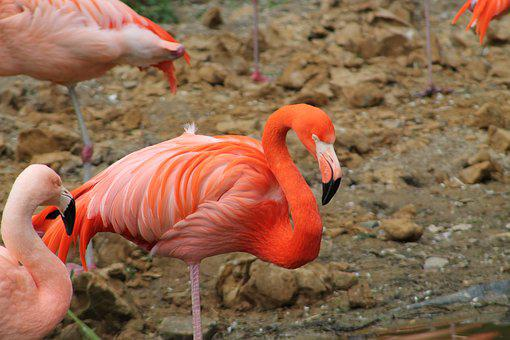Bird, Nature, Animal World, Feather, Bill, Flamingo